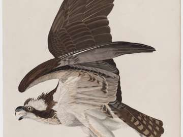 The Birds of America, Plate 81, Fish Hawk
