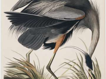 The Birds of America, Plate 211, Great Blue Heron