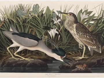 The Birds of America, Plate 236, Night Heron or Qua bird