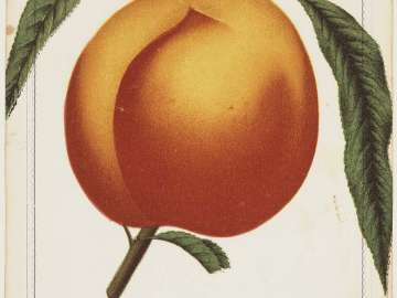 Crawford's Early - (peach)