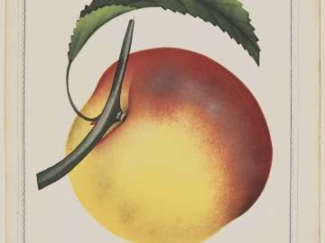 Crawford's Late - (peach)