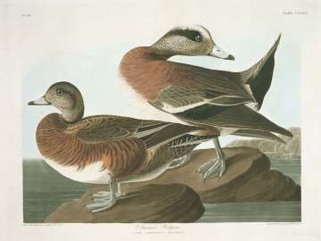The Birds of America, Plate 345, American Widgeon
