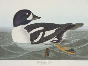 The Birds of America, Plate 403, Golden-eye Duck