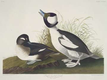 The Birds of America, Plate 325, Buffel-headed Duck