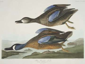 The Birds of America, Plate 313, Blue-Winged Teal