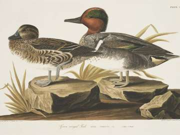 The Birds of America, Plate 228, American Green winged Teal