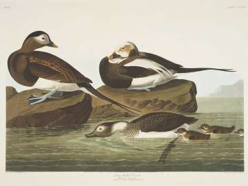 The Birds of America, Plate 312, Long-tailed Duck
