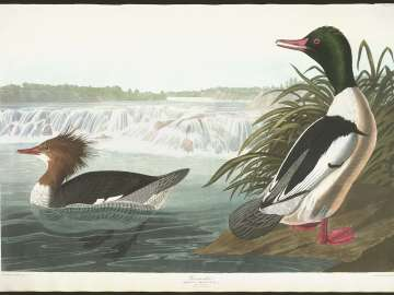 The Birds of America, Plate 331, Goosander