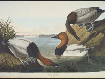 The Birds of America, Plate 301, Canvas backed Duck