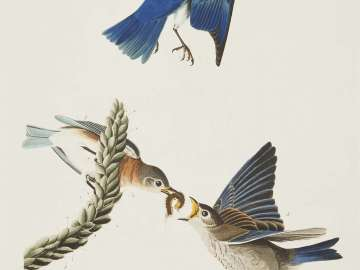 The Birds of America, Plate 113, Blue-bird
