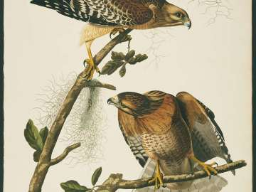 The Birds of America, Plate 56, Red-shouldered Hawk