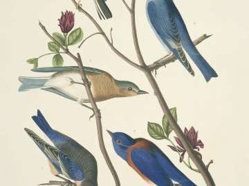 The Birds of America, Plate 393, Arctic Blue-bird
