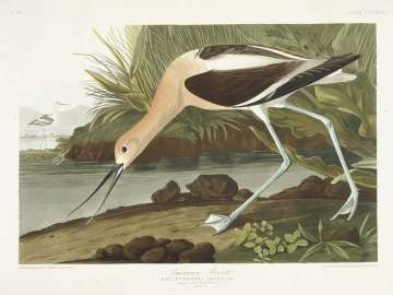 The Birds of America, Plate 318, American Avocet