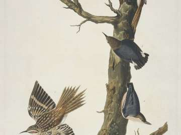 The Birds of America, Plate 415, Brown Creeper