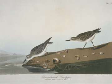 The Birds of America, Plate 405, Semipalmated Sandpiper