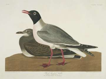 The Birds of America, Plate 314, Black-headed Gull
