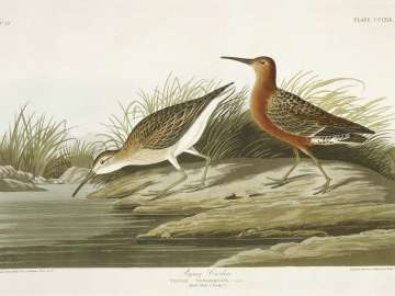 The Birds of America, Plate 263, Pigmy Curlew