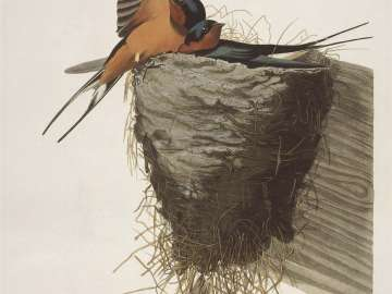 The Birds of America, Plate 173, Barn Swallow