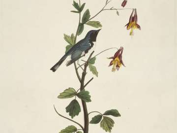 The Birds of America, Plate 155, Black-throated Blue Warbler