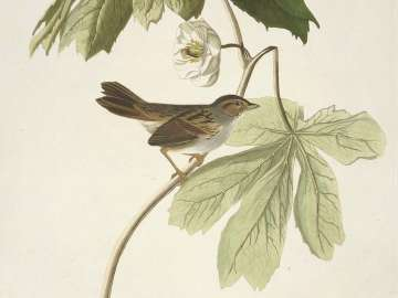 The Birds of America, Plate 64, Swamp Sparrow