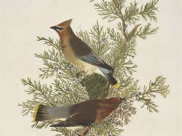 The Birds of America, Plate 43, Cedar Bird