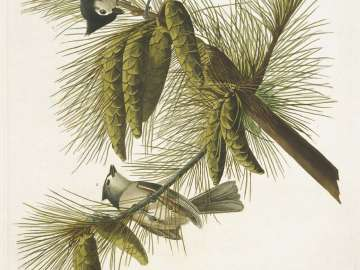 The Birds of America, Plate 39, Crested Titmouse