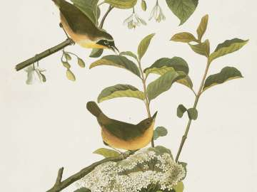 The Birds of America, Plate 23, Maryland Yellow Throat