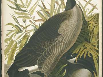 The Birds of America, Plate 201, Canada Goose