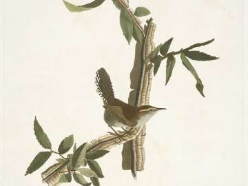 The Birds of America, Plate 18, Bewick's Wren