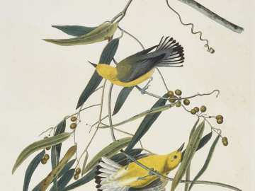 The Birds of America, Plate 3, Prothonotary Warbler