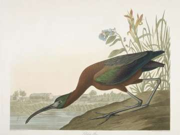 The Birds of America, Plate 387, Glossy Ibis