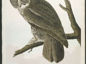 The Birds of America, Plate 351, Great Cinereous Owl