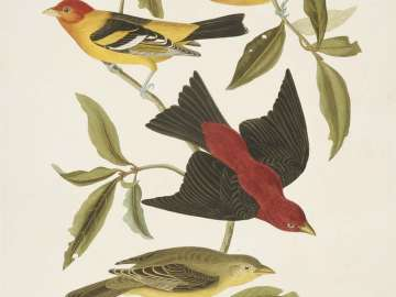 The Birds of America, Plate 354, Scarlet Tanager