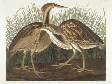 The Birds of America, Plate 337, American Bittern