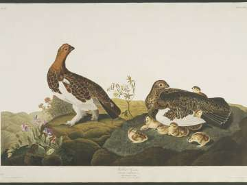 The Birds of America, Plate 191, Willow Grous
