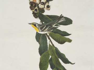 The Birds of America, Plate 85, Yellow Throated Warbler