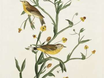The Birds of America, Plate 145, Yellow Red-poll Warbler