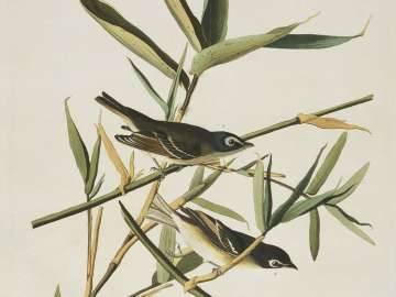The Birds of America, Plate 28, Solitary Flycatcher or Vireo