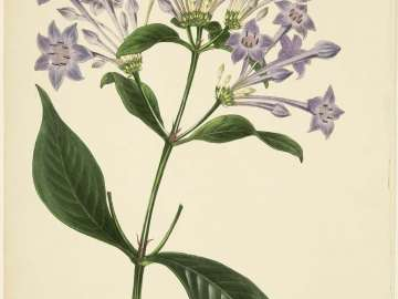 Rondeletia longiflora (possibly from Joseph Paxton, ed.