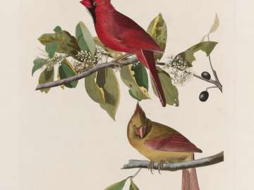 The Birds of America, Plate 159, Cardinal Grosbeak