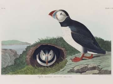 The Birds of America, Plate 213, Puffin
