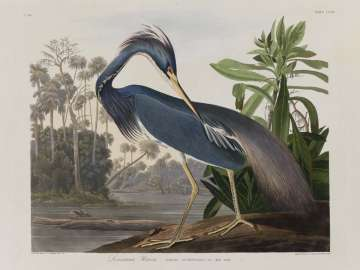 The Birds of America, Plate 217, Louisiana Heron