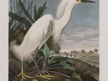 The Birds of America, Plate 242, Snowy Heron