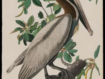 The Birds of America, Plate 251, Brown Pelican