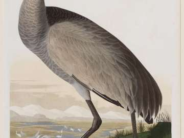 The Birds of America, Plate 261, Hooping Crane