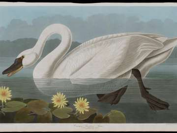 The Birds of America, Plate 411, Common American Swan