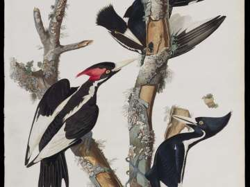 The Birds of America, Plate 66, Ivory-billed Woodpecker