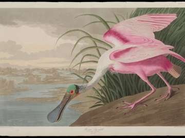 The Birds of America, Plate 321, Roseate Spoonbill