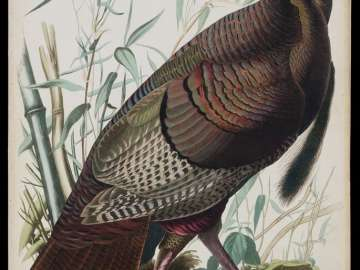 The Birds of America, Plate 1, Wild Turkey