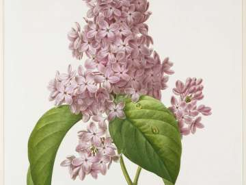Lilas (Pl. 73 from Redouté,